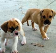 American Bulldog - Animals - A-Z Animals - Animal Facts, Information, Pictures, Videos, Resources and Links