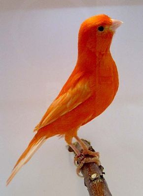 Beautiful Red Factor Canary! They make awesome pets and breeders as a hobby!