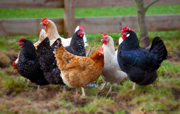 Chic Chic Chicken   Flickr - Photo Sharing!