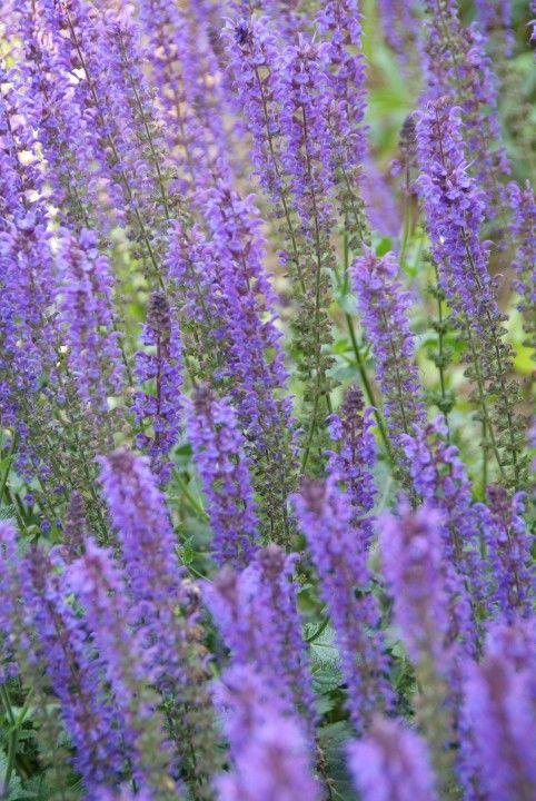 Salvia nemorosa 'Mainacht'