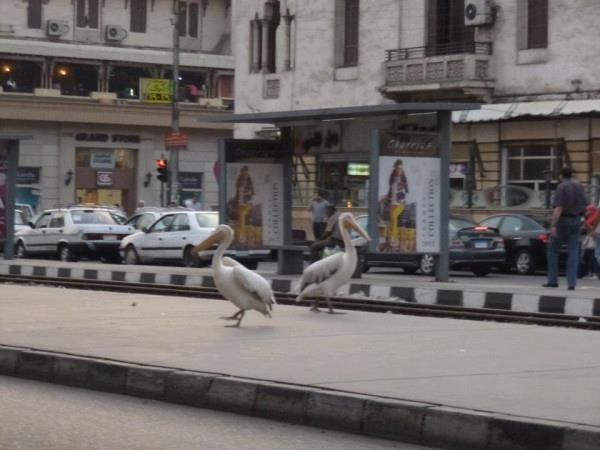 Egyptian Archaelogist, Monica Hanna (@monznomad) spotted these pelicans on a street in Heliopolis, Cairo. Thank you for sharing, we think it's brilliant!