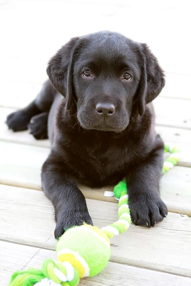 #black #labrador #puppy