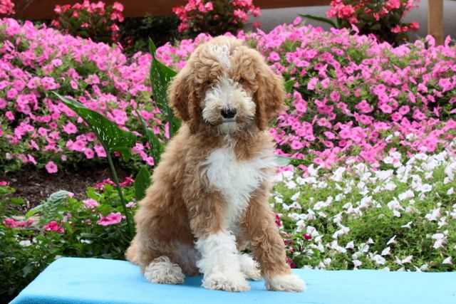 Jolly Lively Ohsocurly Standardpoodle Puppies