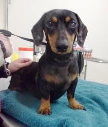 MINNESOTA SpecialNeeds ~ Frankie is an adoptable Dachshund dog in Willmar. This little boy needs some time to get to 100%, but we're getting there! His left eye was taken out due to chronic dry eye. Full of wiggles but also has a more serious side when he's not being a clown. He needs to learn to share, he likes his toys & that's that! (or so he thinks) He'll need a home with no smaller kids & somone who knows doxies that can medicate his eye. HAWK CREEK ANIMAL SHELTER Ph 320-235-7612.