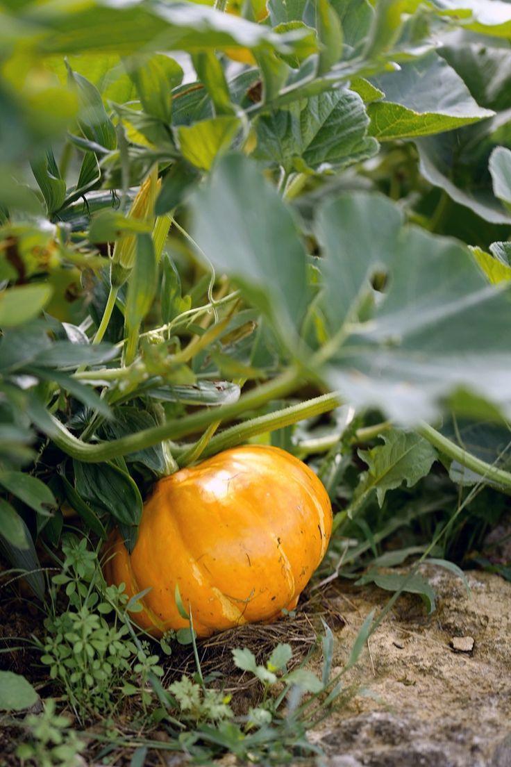 Kurbis Saen Anbauen Pflegen Ernten Kurbis Pflanzen Kurbis Anpflanzen Gemuse Anbauen