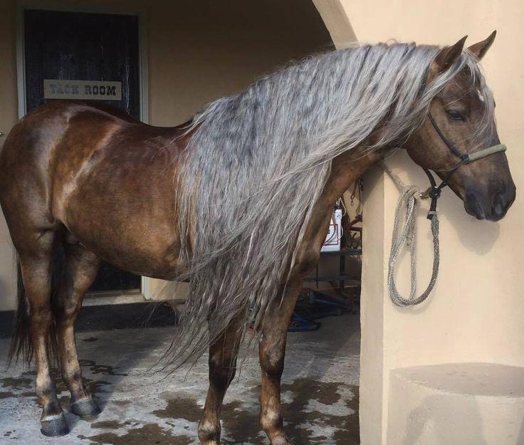 Look at this horse's long mane! Latigo Dun It 'Hollywood' Horseaddict