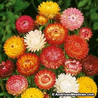 "Strawflower Seeds Mix, Helichrysum bracteatum Mix, Strawflower Mix. One of the most popular ""everlastings"" for use in dried arrangements, strawflowers are just as beautiful in summer bouquets. And these plants produce so many colorful, long-stemmed flowers you'll have plenty to use both fresh and dried. Annual."