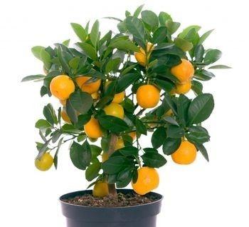 Miniature Fruit Trees