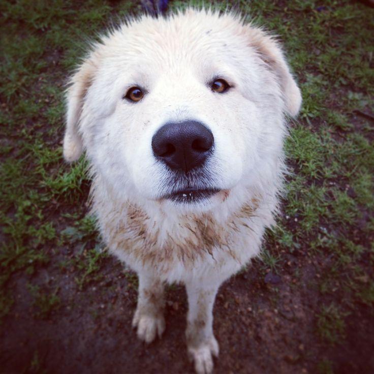 Maremma sheepdog | Maremma sheepdog | Maremma sheepdog ...