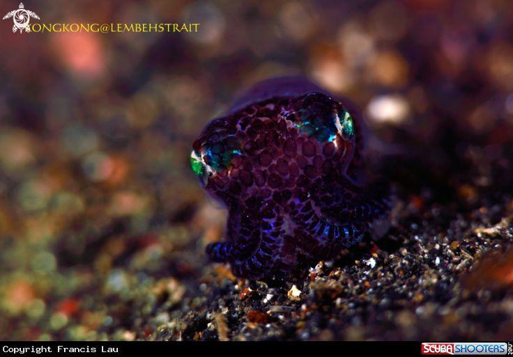 Bobtail Squid in Lembeh Strait - Indonesia