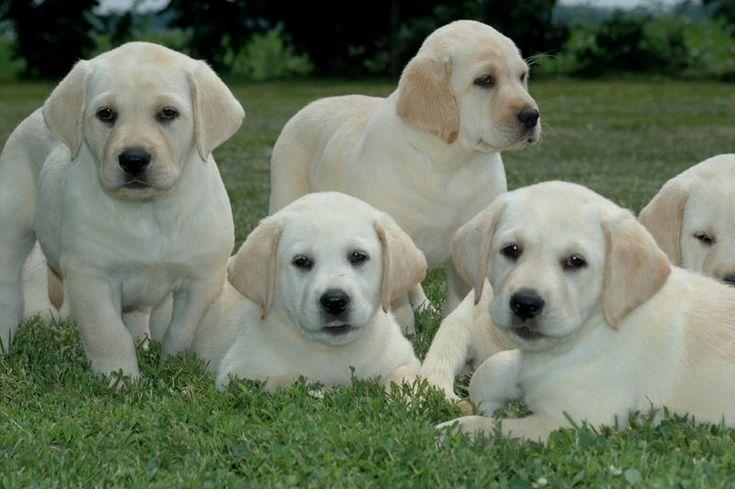 Pin By Virginia A Witman On Labradoodle Labrador Retriever Labrador Breeders Puppies