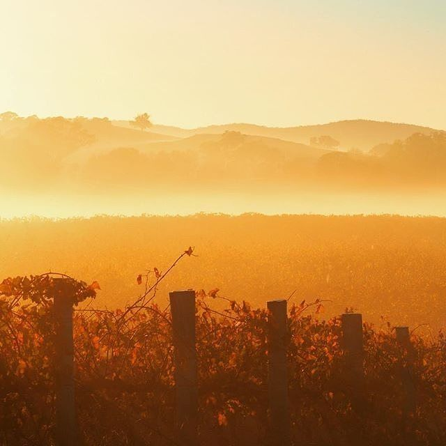 Mist and gorgeous golden light cover Shiraz vines at @fourwindsvineyard. This thirty-three acre vineyard in Murrumbateman was planted in 1998 and 1999 with five varieties - Shiraz, Riesling, Cabernet, Merlot and Sangiovese. Add it to your list of Canberra district wineries to visit! #visitcanberra #onegoodthingafteranother