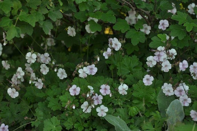 P5. Liten flocknäva 'Biokovo' Geranium x cantabrigrense 'Biokovo'   25 cm vitrosa juni-juli sol- halvskugga fina höstfärger mkt blomrik marktäckare under andra saker, fin marktäckare som kommer upp tidigt med blad om våren.