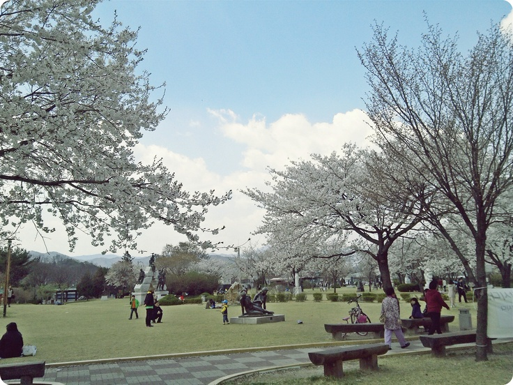 The park is filed with the cherry blossom trees. (Chun Cheon  in Korea)