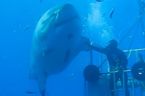 Deep blue, a great white. Maybe the biggest ever! She is 20 feet and around 50 years old. What a beauty!