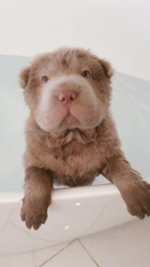 Meet Tonkey: The Shar Pei Puppy Who Looks Like A Teddy Bear - Yahoo News UK