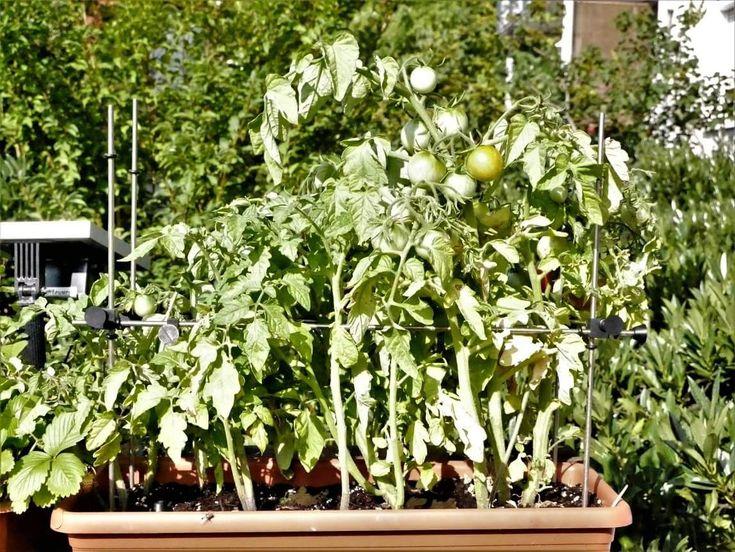 Wer #Tomaten im #Balkonkasten zieht, kennt das Problem, dass man für jede Pflanze meist mehrere Stäbe als #Stütze benötigt. Mit #Flexgrow (www.flexgrow.de) kann man einen mitwachsenden Rahmen um die Pflanzen bauen, so dass sie einerseits nicht abknicken und andererseits sogar die Zweige gestützt werden.