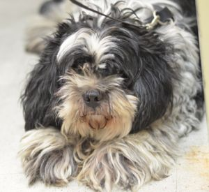 SUPER URGENT 10/21/17 Brooklyn Center COTTONWOOD – 10103 10-12 Years Old, Small White and Black Mix, Neutered, 19 lbs, Stray 10/18/17 Medical: 10/20/17: DVM Intake Exam; Estimated age: ~10-12 years; Microchip noted on Intake? negative; History : stray ; Subjective: BARH; Observed Behavior -tense and nervous, reported to have tried to bite the scanner yesterday so was muzzled for exam;