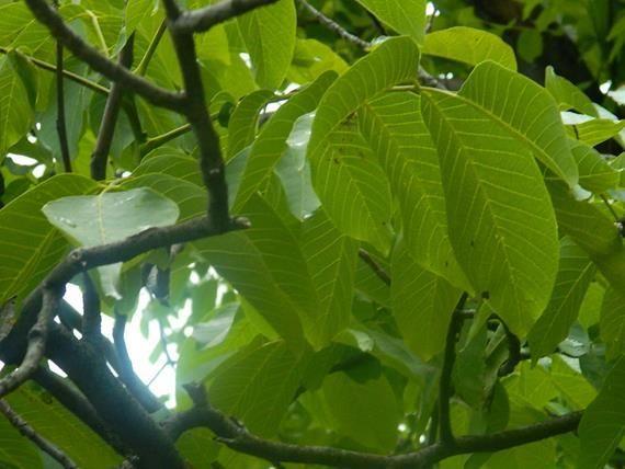 diófa levél - csodálatos gyógyhatású növény http://gyorgytea.hu/gyorgyteak/egyedi-teak/dio