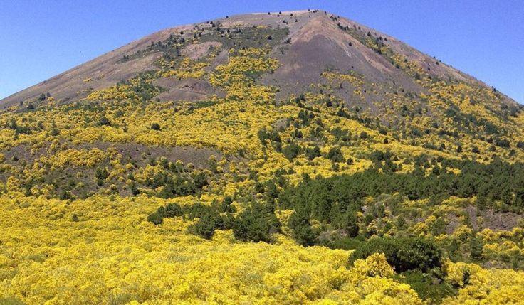 Le ginestre in area napoletana: un manto giallo fra i crateri del Vesuvio e del Vulcano Solfatara
