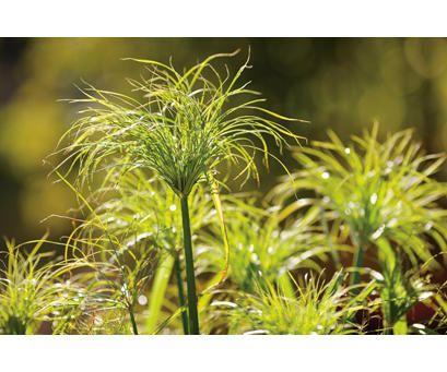Graceful Grasses® King Tut® - Egyptian Papyrus - Cyperus papyrus   Proven Winners