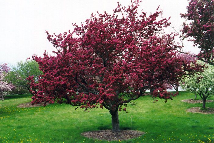 Profusion flowering crab malus 39 profusion 39 at stein 39 s - Stein s garden home green bay wi ...