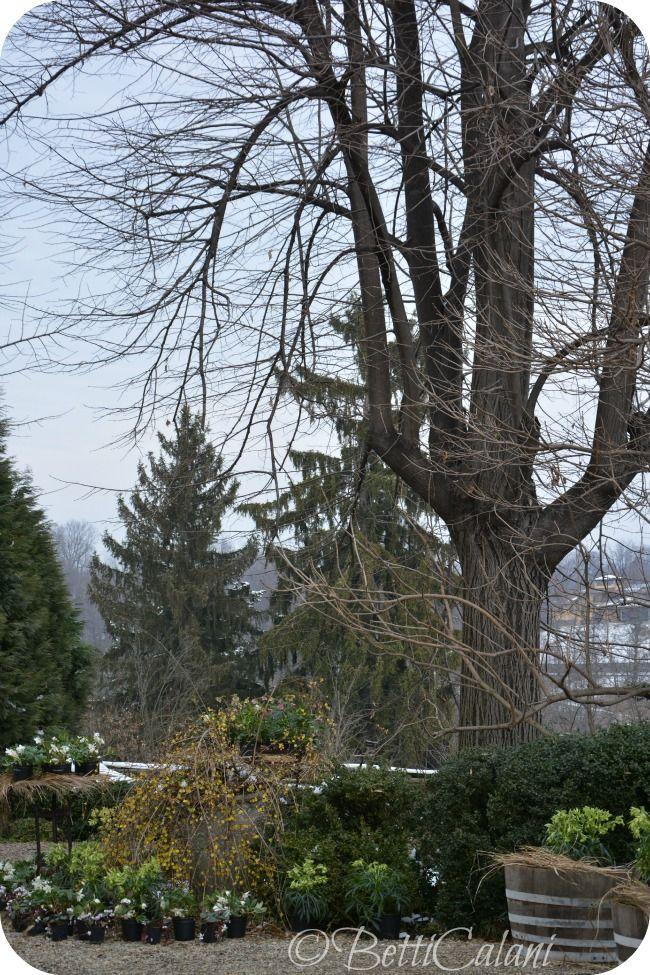 helleborus sotto la neve