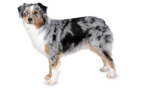 Australian Shepherd information including pictures, training, behavior, and care of Aussies and dog breed mixes.