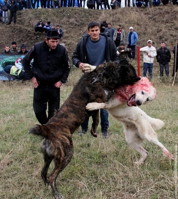 Dog fighting championship in Chechnya