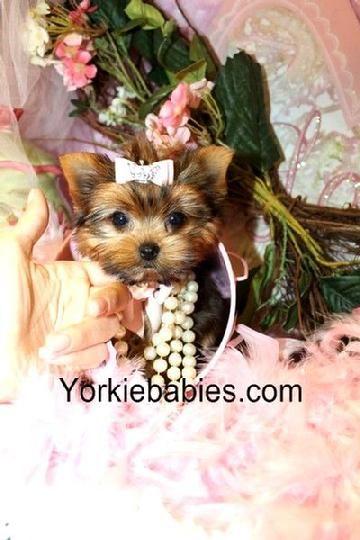 Teacup Yorkie, Teacup Yorkie Puppy, Yorkies for sale, Yorkie For Sale, Yorkie…