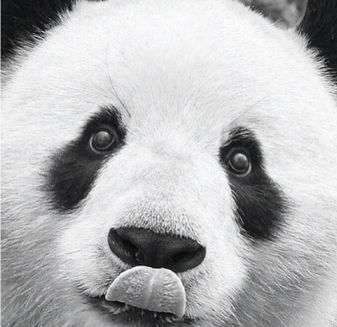 Find Myself Obsessing Over The Black And White Buffalo: Panda Licky Face :)