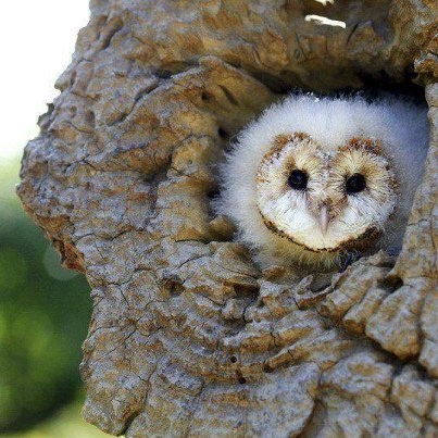 A sweet heart-shaped face of a young Barn Owl.