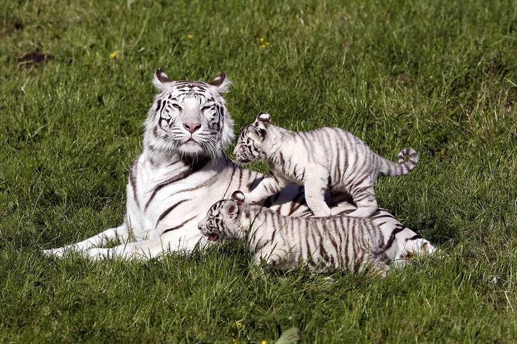 Lisa, une jeune maman tigre, avec deux de ses trois enfants âgés de 2 mois à Hermival-les-Vaux en France.