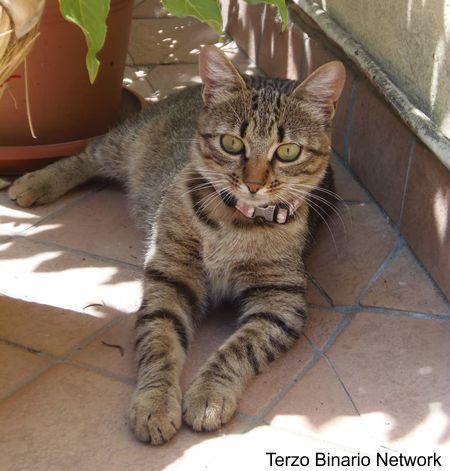 VALENZA (AL): SMARRITA MYRA, GATTA GRIGIA TIGRATA http://www.terzobinarionetwork.com/2015/10/valenza-al-smarrita-myra-gatta-grigia.html