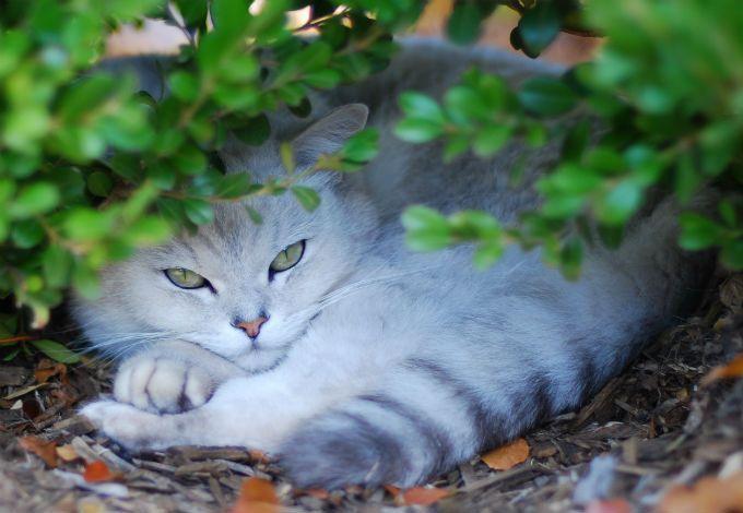Burmilla Cats And Kittens