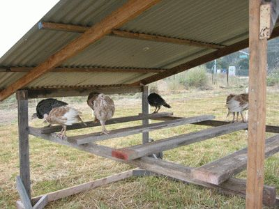 Turkey Roosting Area They Don T Need A Coop Unless They