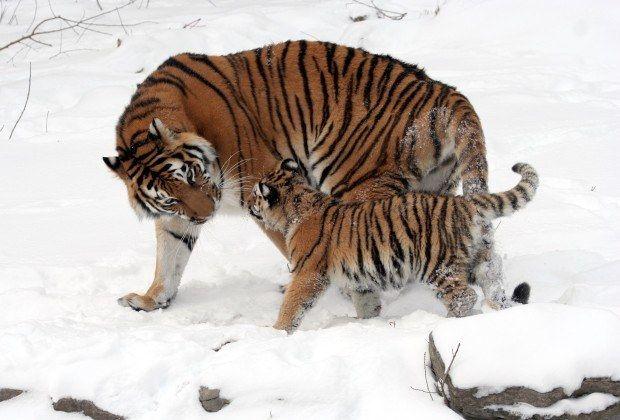 Tigre siberiano --  Os tigres siberianos, também conhecidos como tigres de amur, são felinos tão grandes e astutos que chegam a caçar ursos com sucesso. São os maiores tigres do mundo e consequentemente os maiores felinos existentes, chegando a medir três metros de comprimento.