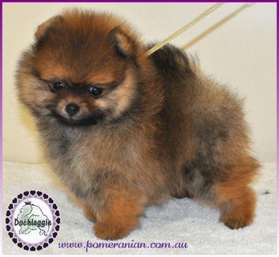 Dochlaggie Pomeranian Puppy Pomeranianpuppy Pomeranian