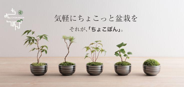 ちょこぼん,ミニ盆栽,盆栽,おしゃれ,インテリア,雑貨.観葉植物,通販,販売,和,植物,苔,苔玉
