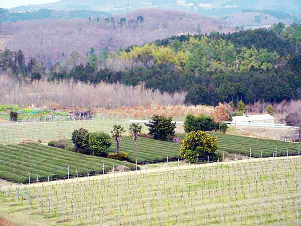 A wonderful view of the vineyard from the Nakaizu Winery Hills.