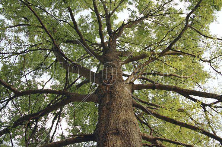 Tall Oak - Fototapeter & Tapeter - Photowall
