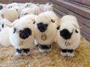 I want one or five!  Yes, these are real sheep.  They are called Valais black-faced sheep.  So cute!