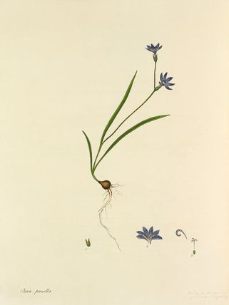'Ixia pusilla' -- Illustrations -- Flowers -- RHS Prints