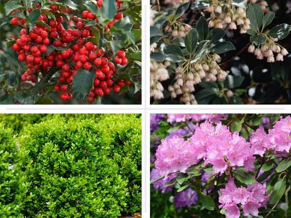 thisoldhouse.com | from A Garden Designer's Favorite Shrubs