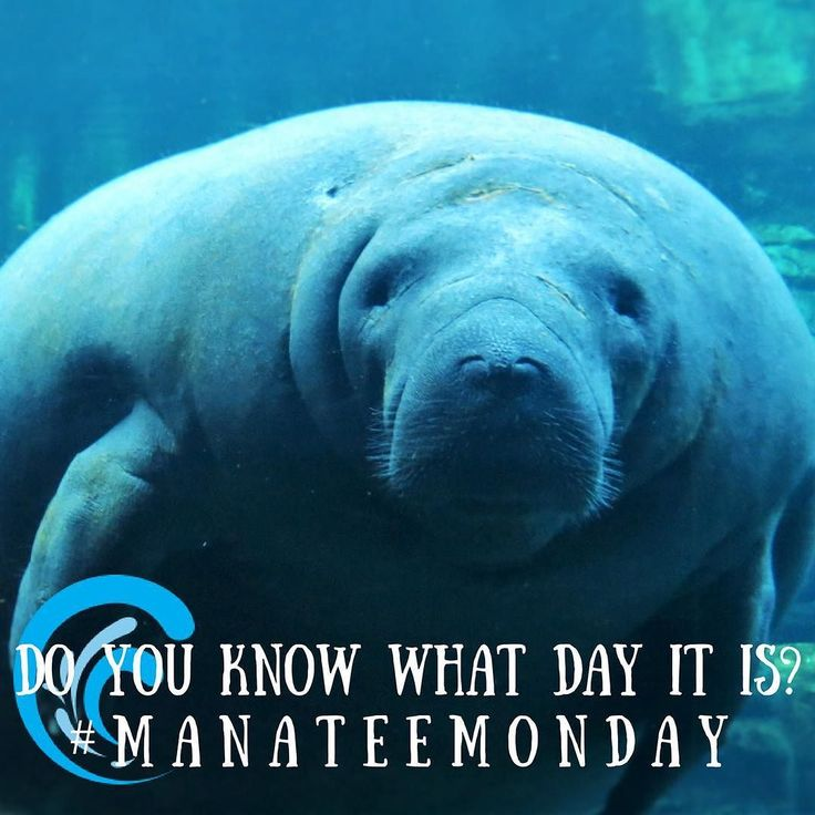 How could you forget #manateemonday?! Shop the link in our bio to help clean and save these guys' home!    #seacow #saveourearth #saveourseas #saveouroceans #savethewaves #shoplinkinbio #shellycove #ecofriendlyproduct #lovefl #explorefl #roamflorida #ivoryella #sandcloud #sandcloudtowels #fortmyersfl #zapskimboard #zapskimboards #skimboarding #surfer #surfing #surfapparel #surfergirl #floridalife #floridalocal #shoplocal