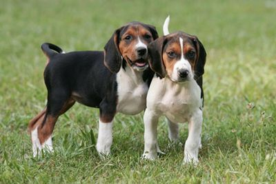 Treeing Walker Coonhound puppies!