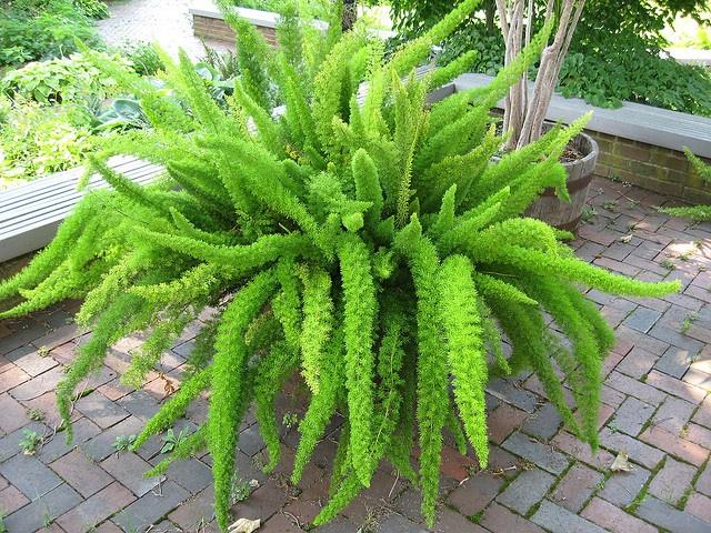 Asparagus Fern (Asparagus densiflorus 'Meyersii')