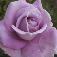 HEAVEN SCENT | Roses by Name | Shades of Blue / Lilac | Hybrid Tea | New and Recent Releases 2015