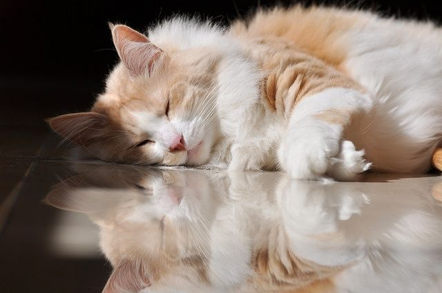 Health Problems in Turkish Angora Cat Click the picture to read