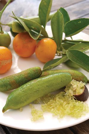Finger Lime Microcitrus Australasica- Australian finger lime. Produces little pearls that are easily pushed out of the lime.